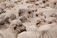 Domestic Sheep, Sheep shearing, unsheared sheep, Hill Country, Texas, USA, April 2007