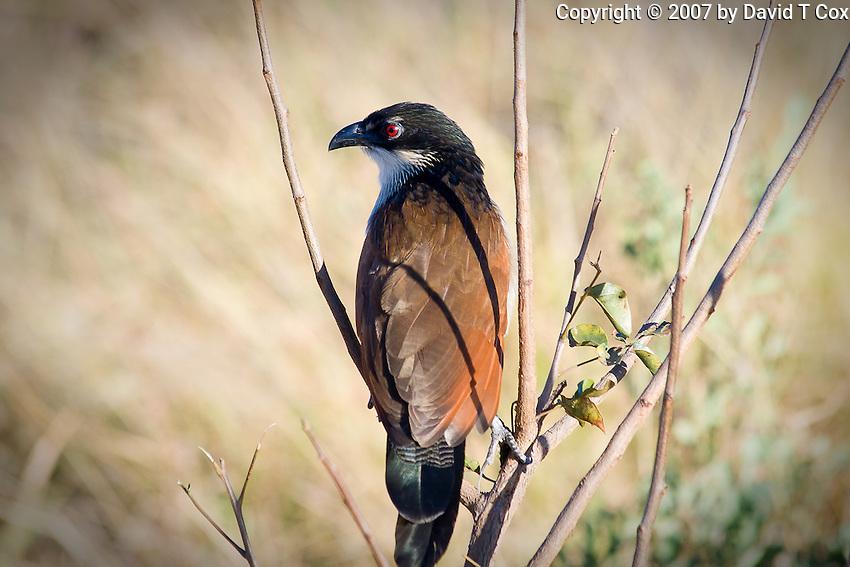 Burchell's Coucal, Kruger NP, SA