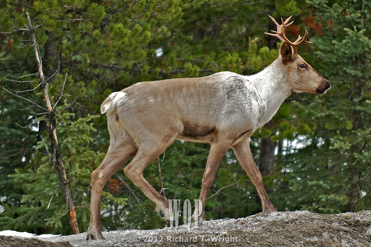 Mountain caribou are a red-listed or endangered species in the mountains of B.C. This group is part of the Barkerville herd in the Cariboo Mountains near Wells, B.C. They cross Highway 26 in the spring and fall on their migration route to higher of lower country.