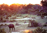 BOTSWANA, Africa, a Cape Buffalo in Chobe National Park and Game Reserve