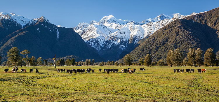 Hereford cattle, Mount Tasman - near Fox Glacier, West Coast, South Island, New Zealand - stock photo, canvas, fine art print