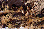 Mother mountain lion and three cubs, Miller Butte, National Elk Refuge, Jackson, Wyoming.