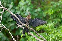 Anhinga, Tortuguero, Costa Rica, Central America