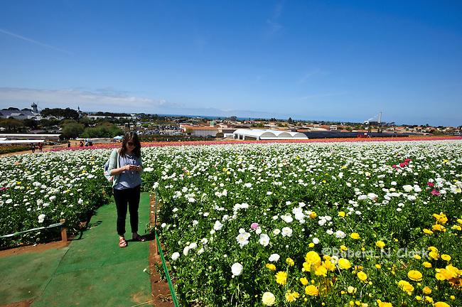 Ranunculus fields blooming in Carlsbad, California