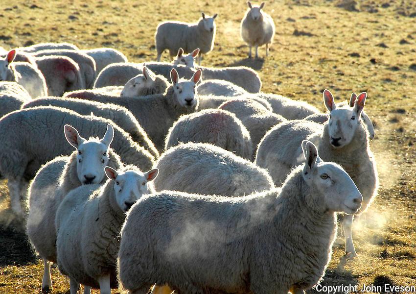 Border Leicester ewes on a frosty, bright February morning near Slaidburn, Lancashire.
