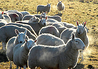 Border Leicester ewes on a frosty, bright February morning near Slaidburn, Lancashire.