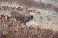 White-tailed Deer Buck (Odocoileus virginianus) in late fall snowstorm.