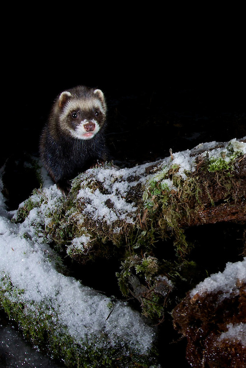 A wild European polecat (Mustela putorius) exploring a snow covered log near Corwen, north Wales. This image was taken using a DSLR camera trap