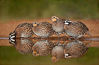 509250068 northern bobwhites colinus virginianus drink from a small pond on betos ranch hidalgo county rio grande valley texas united states