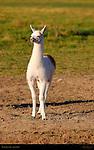 Llama Juvenile, Loa, Utah
