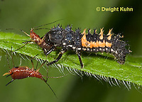 1C02-501z  Asian Ladybug Beetle Larva eating aphid pest, Harmonia axyridis.