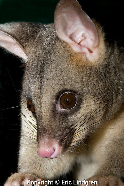 Australian Common Brushtail Possum - head study.  //  Common Brushtail Possum - Phalangeridae: Trichosurus vulpecula. Length to 35cm  plus tail 35cm.  Occurs in forests, woodlands, and urban areas in Australia from Broome in north-west Western Australia, through the Kimberley Region, and around the east coast to South Australia and Tasmania.  Also occurs in the forested south west of Western Australia, and in isolated pockets throughout arid areas.  Feeds mainly on foliage. Common and tame in urban areas, where often seen during the night on power lines outside suburban housing as it wends its way to its favoured feeding grounds. Nocturnal, sleeps during daytime in a hollow tree, or in cavities in buildings in urban areas. Introduced to New Zealand in early 19th Century, it is now a serious pest species. Common. IUCN Status: Least Concern.   //Eric Lindgren//