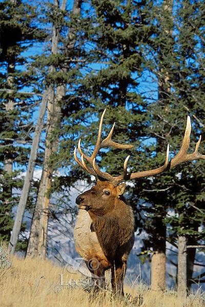 Rocky Mountain Elk bull (Cervus elaphus).  Western U.S., Fall.