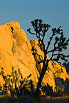 Joshua Tree and golden rock outcrop at sunset, near Hidden Valley, Joshua Tree National Park, California