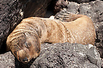 Santa Fe Island, Galapagos, Ecuador; a Galapagos Sea Lion (Zalophus wollebaeki) pup sleeping on the volcanic rocks near the water's edge of a lagoon on the eastern side of Santa Fe Island , Copyright © Matthew Meier, matthewmeierphoto.com All Rights Reserved