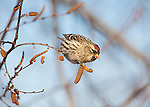 Common Redpoll (Carduelis flammea), female feeding on birch catkins in winter, New York, USA