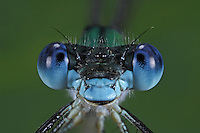 Glänzende Binsenjungfer, Portrait, Porträt, Komplexauge, Facettenauge, Lestes dryas, emerald spreadwing, scarce emerald damselfly, turlough spreadwing, le Leste dryade, Leste des bois