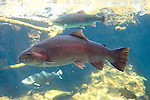 California: Rainbow trout from Sacramento River in Redding at Turtle Bay Museum exhibit.   Photo copyright Lee Foster california116255.
