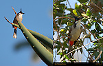 Red-whiskered Bulbul Southern California Composite Image