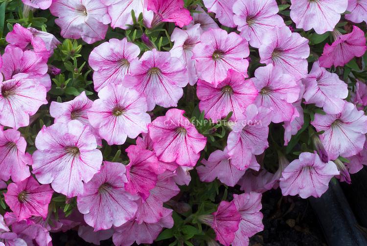 Petunia (Designer Series) Stardust Pink ('Kerdustpink') lots of petunia flowers with veining