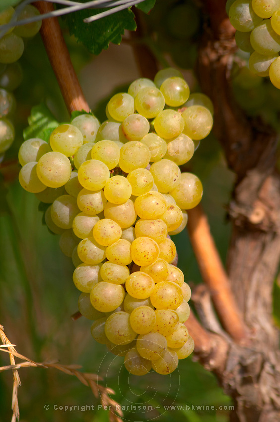 Bunches of ripe grapes. Chardonnay. Beaune, Cote d'Or, Burgundy, France