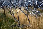Burned beech (Nothofagus sp.) forest, Torres del Paine National Park, Chile
