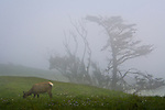 Female Tule elk in fog, Point Reyes National Seashore, Marin County, California