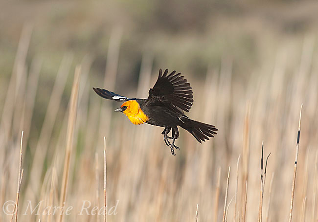 Yellow-headed Blackbird (Xanthocephalus xanthocephalus) male in flight in cattail marsh, Mono Lake Basin, California, USA