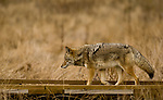 A coyote walks along a boardwalk trail in Yosemite National Park, California ,USA on November 29, 2007. Photo by Gus Curtis.