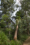 Falling teak tree cut down, Ella, Badulla District, Uva Province, Sri Lanka, Asia