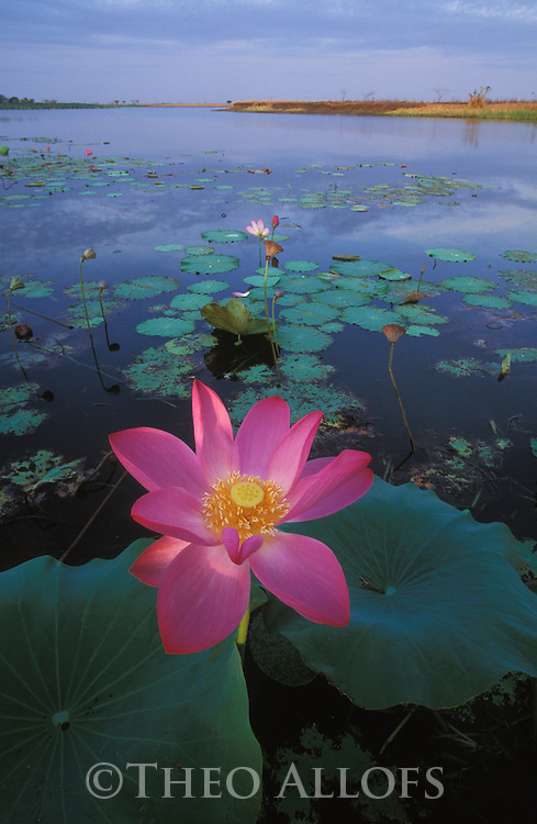 Australia, Northern Territory; Lotus waterlily in Mary River wetland