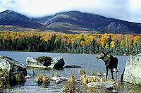 MS04-001x  Moose - Female feeding at Sandy Stream Pond in Baxter State Park, Maine - Mt. Katahdin in view - Alces alces