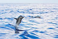 Pantropical Spotted Dolphin, Stenella attenuata, jumping out of boat wake, off Kona Coast, Big Island, Hawaii, Pacific Ocean.