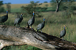 Group of Helmeted Guineafowl on a fallen tree in Tanzania.