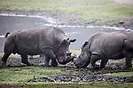 Foto: VidiPhoto<br /> <br /> ARNHEM &ndash; De eerste ontmoeting tussen het pasgeboren neushoorntje Wiesje en de twee ton zware papa Gilou op de Safarivlakte van Burgers&rsquo; Zoo in Arnhem is woensdag uitgelopen op flinke clash. Gilou heeft een slechte reputatie. Zijn vorige kinderen werden door hem tijdens de eerste ontmoeting flink mishandeld. Vandaar dat de dierverzorgers van de Arnhemse dierentuin met de nodige spanning de introductie volgden. Ook nu was er een korte, maar hevige botsing tussen de pittige en brutale Wiesje en de narrige vader. Met als gevolg dat ook moeder Izala en de andere neushoorns bij de confrontatie als beschermers van de 100 kilo zware neushoornbaby betrokken werden, zodat Gilou op zijn beurt een portie &lsquo;klappen&rsquo; kreeg van de kudde. De in juli geboren Wiesje mocht in september voor het eerst naar buiten, om zo kennis te maken met de kudde en om wat gewicht betreft wat steviger in haar schoenen te staan tijdens de ontmoeting met paps.En dat bleek woensdag geen overbodige luxe. Foto: Moeder Izala (r) beschermt haar jong tegen de agressieve Gilou.