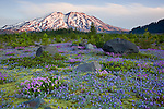 Mount St. Helens National Volcanic Monument, WA<br /> Dawn on Mount St. Helens from a meadow of lupine and penstemon at Lahar