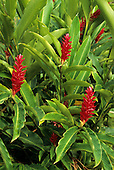 Amazon, Brazil. Flowering plant with bright red petals from the ginger family.