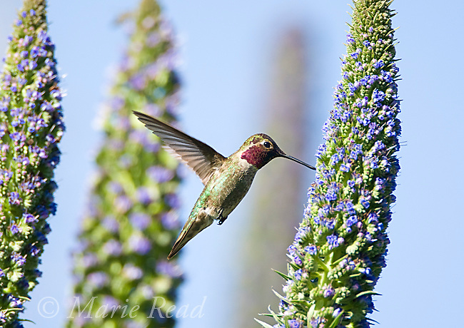 Anna's Hummingbird (Calypte anna), male hovering at flowering Pride of Madeira (Echium sp), Orange County, California, USA