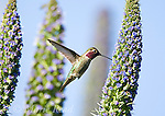 Anna's Hummingbird (Calypte anna), male hovering at flowering Pride of Madeira (Echium sp), Orange County, California, USA