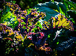 8.27.18 - Red Kale....