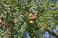Speierling, Früchte, Sorbus domestica, Service Tree, Cormier