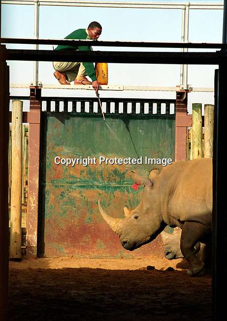 diwlauc00003 .An unidentified park employee is spraying a rhino before the yearly wildlife auction on June 21, 2002 by the Ezemvelo KZN wildlife at Hluhluwe-iMfolozi Park in Natal, South Africa. Hluhluwe has the most successful rhino program in the world, and was started about one hundred years ago when there were less than a hundred rhinos left on the entire African continent. Around 1960, when the rhino population had recovered, it became necessary to control the amount of animals. They started to move animals to other areas and sell it to parks and game lodges all over the world. The auction took in almost fifteen million rands, which will be used for wildlife conservation. .©Per-Anders Pettersson/iAfrika Photos.