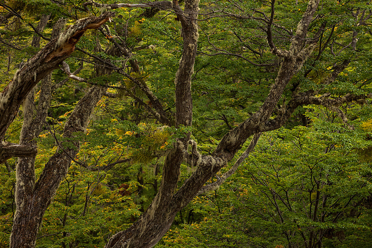 An emerald green beech forest thrives in Tierra del Fuego NP