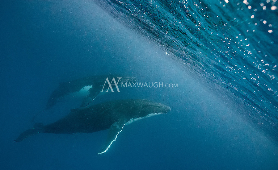Humpbacks approach the curtain of water that makes up the ocean surface.