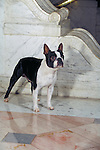 Boston Terrier<br />