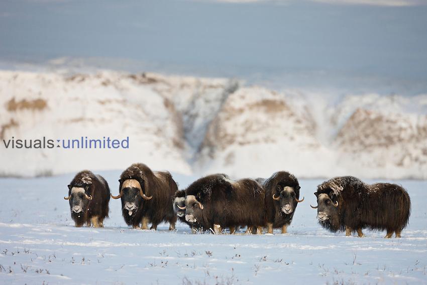 Muskox herd, Arctic National Refuge, Alaska, USA