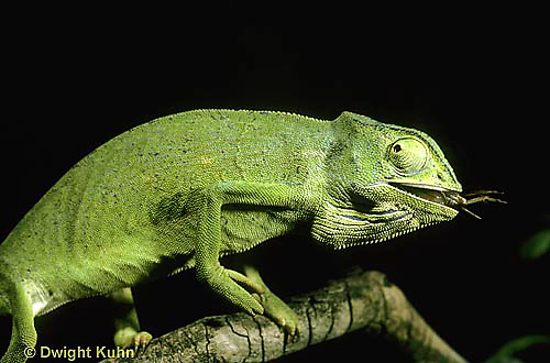CH19-052z  African Chameleon - eating prey it caught with long tongue - Chameleo senegalensis .
