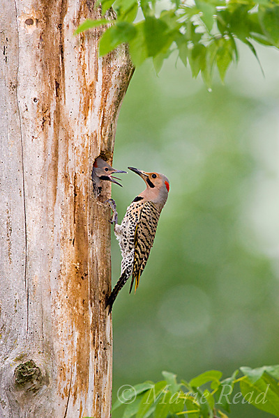 Northern Flicker (Colaptes auratus) (yellow-shafted form) male feeding young at nest, New York, USA