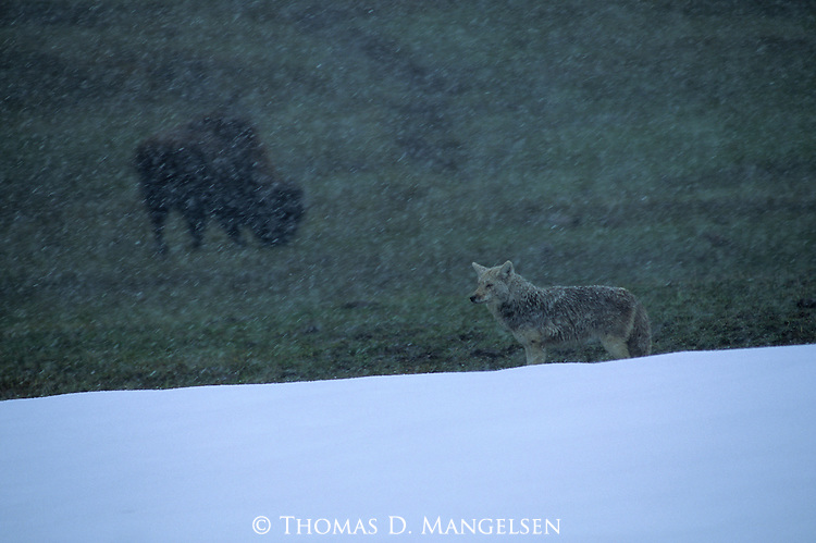 Coyote (Canis latrans) with Bison in the background. Yellowstone National Park, WY