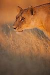 Botswana, Okavango Delta, Moremi; lioness walking in grass